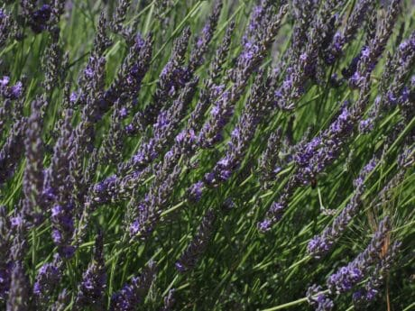 lavender, agriculture, summer, nature, herb, field, flora, flower