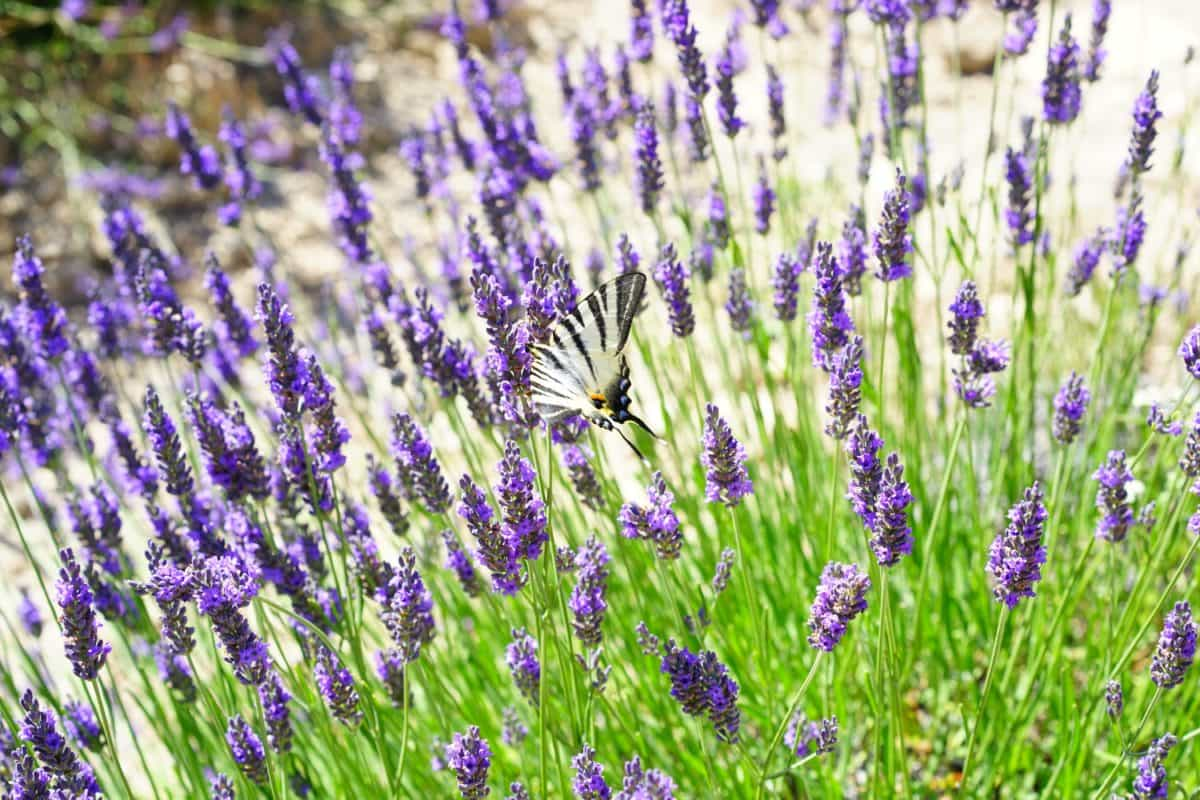 nature, field, flower, aromatherapy, lavender, summer, flora