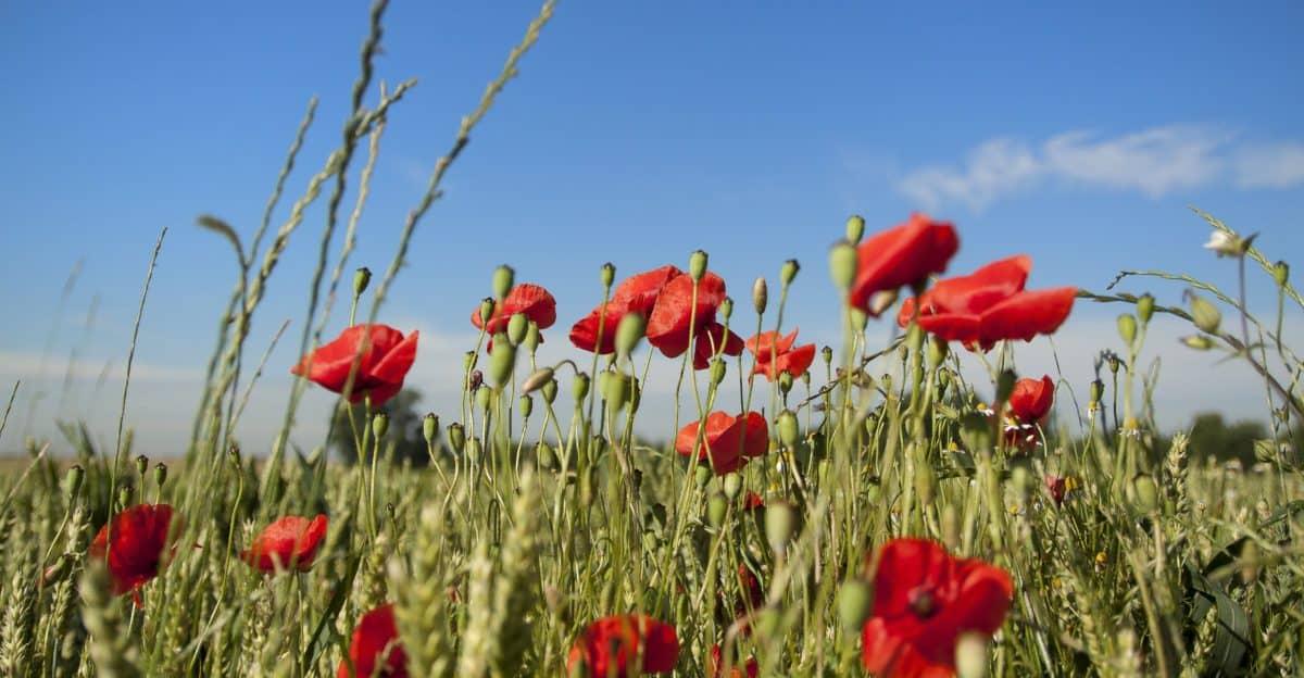 summer, flora, grass, poppy, nature, flower, field, bloom