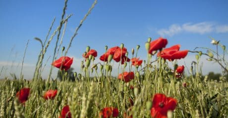summer, flora, grass, poppy, nature, flower, field, bloom