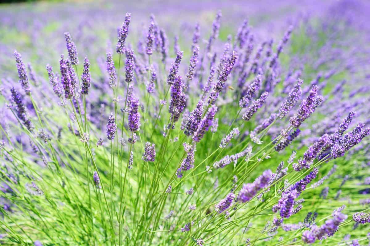 lavender, field, flora, herb, perfume, nature, flower