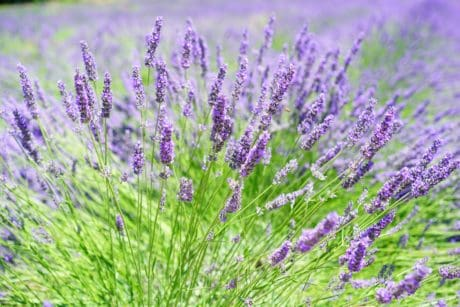 lavender, field, flora, herb, perfume, nature, flower