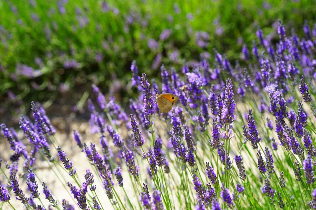 flora, flower, butterfly, field, aromatherapy, perfume, herb, nature