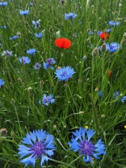 wildflower, garden, flower, grass, field, flora, nature, summer