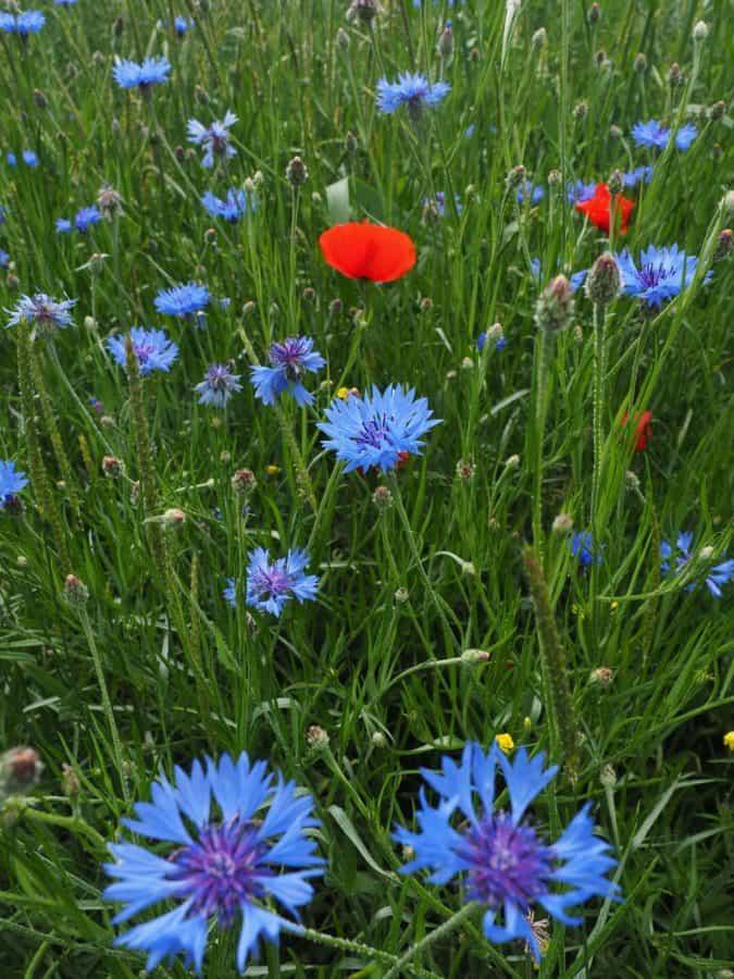 wildflower, garden, flower, grass, field, flora, nature, summer