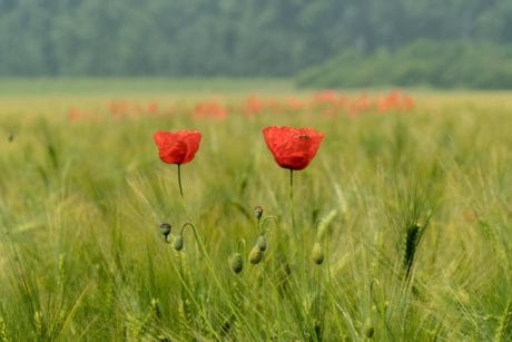 poppy, flower, field, nature, grass, agriculture, summer