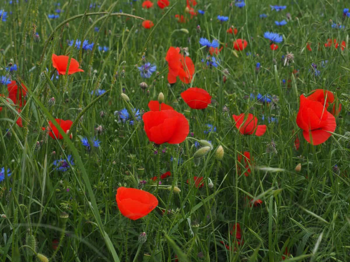 field, garden, poppy, flora, summer, grass, nature, flower