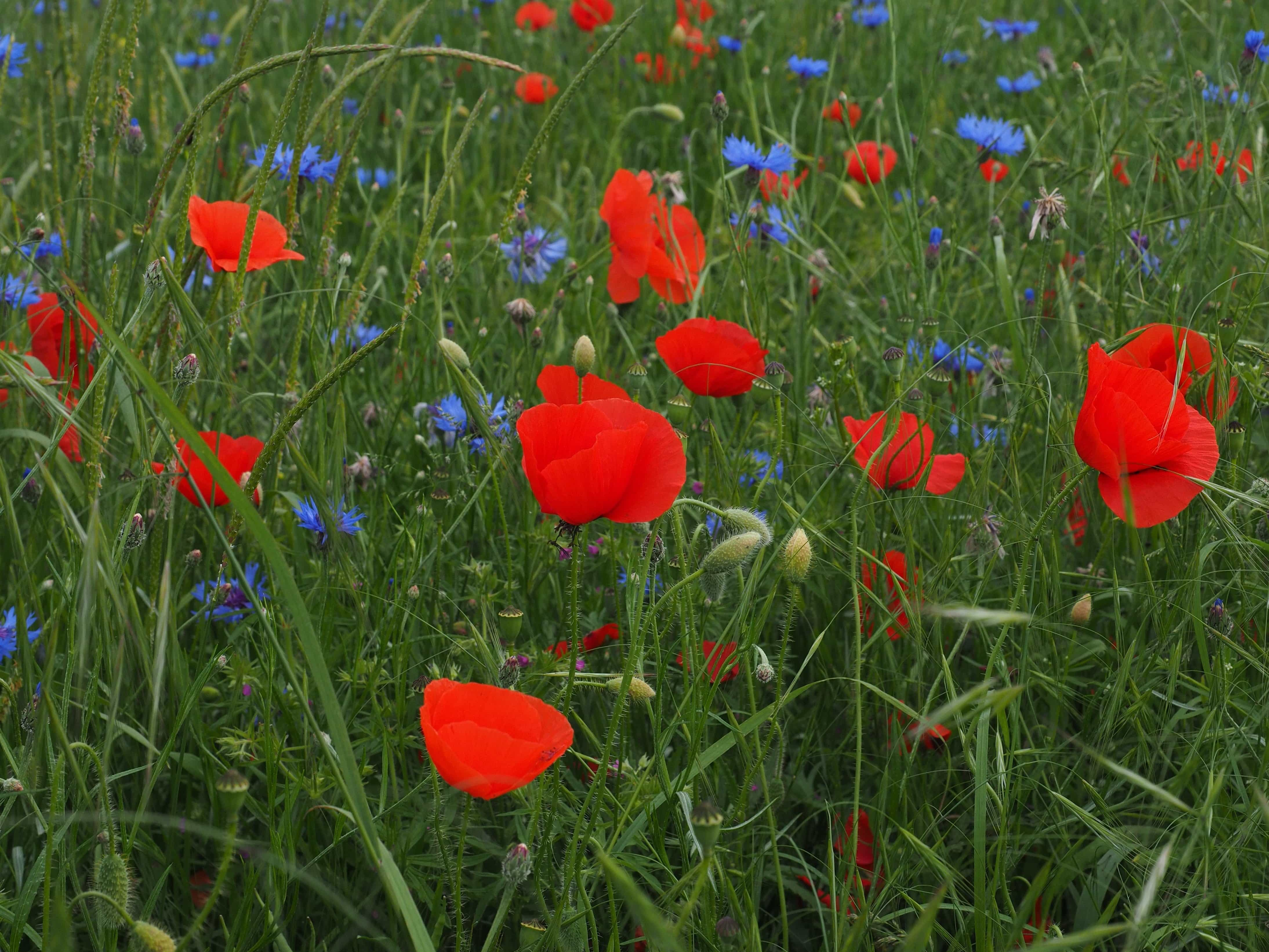 Free Picture Poppy Flower Field Nature Grass Agriculture Summer