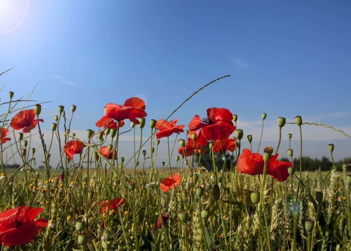 Free Picture Nature Field Flora Summer Grass Flower