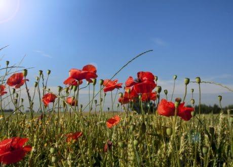 natura, campo, flora, estate, erba, fiore, papavero, selvaggio
