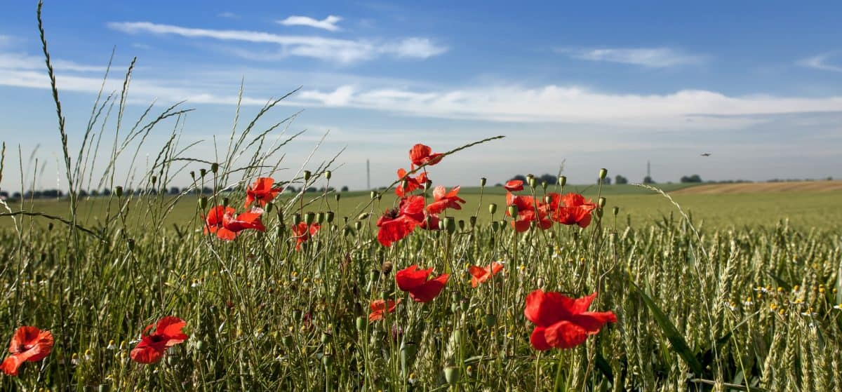 summer, countryside, nature, grass, flower, poppy, field