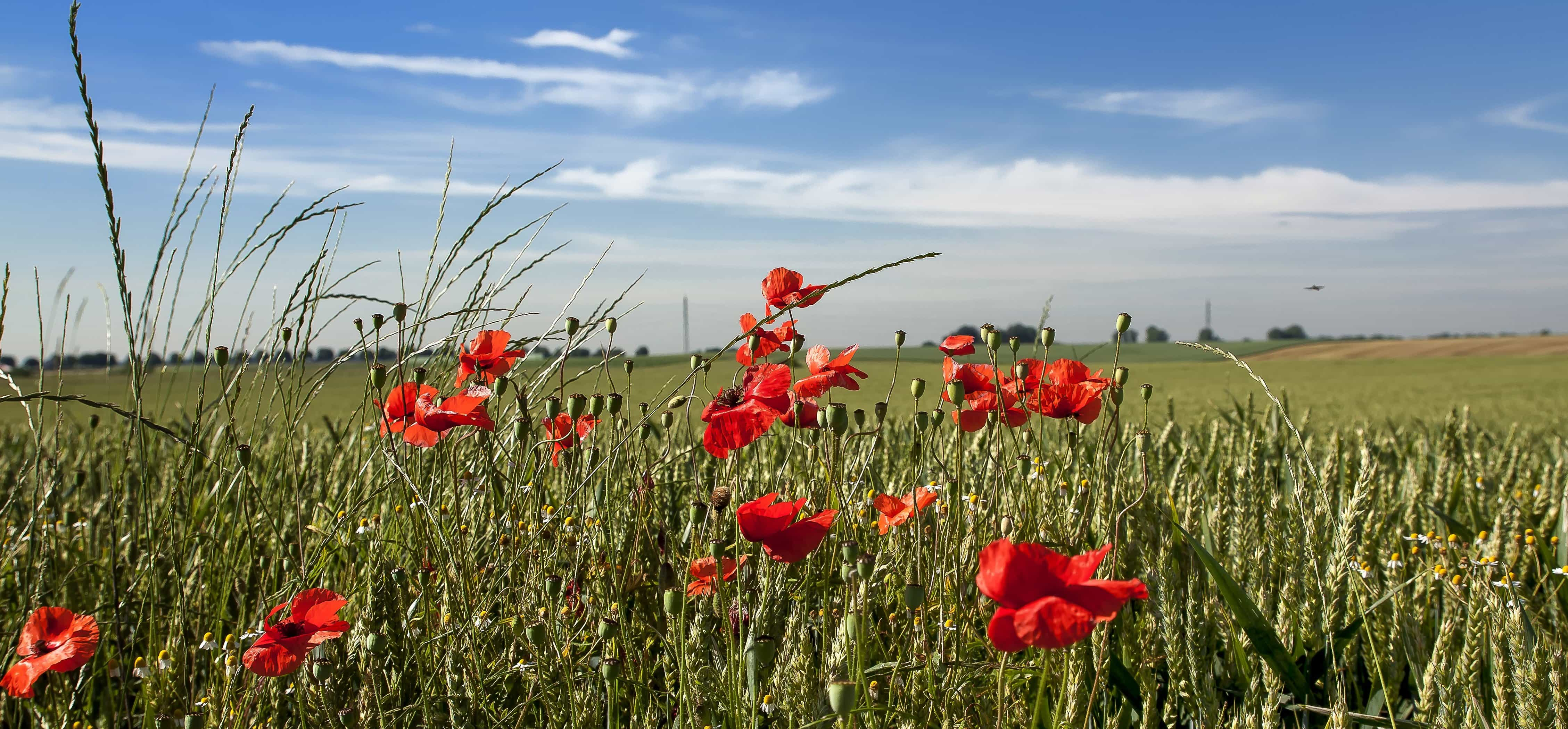 Free picture: summer, countryside, nature, grass, flower, poppy, field