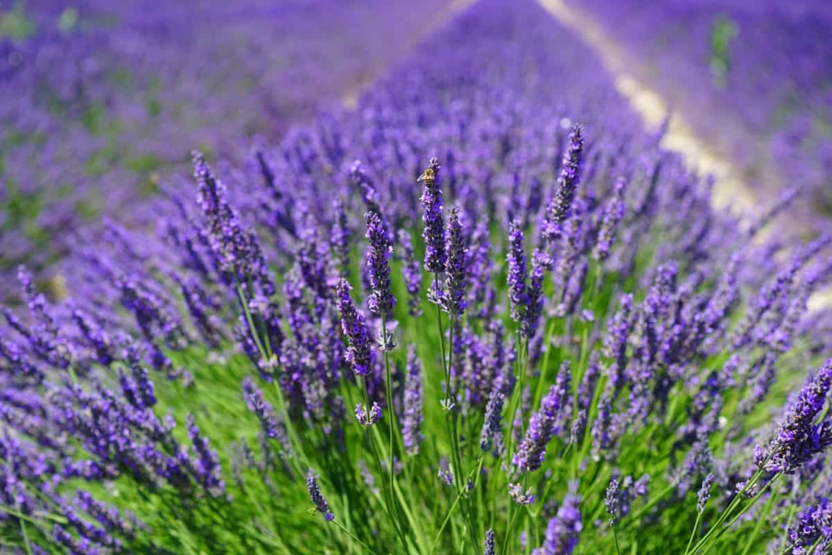 lavender, agriculture, flower, agriculture, nature, field, flora, summer