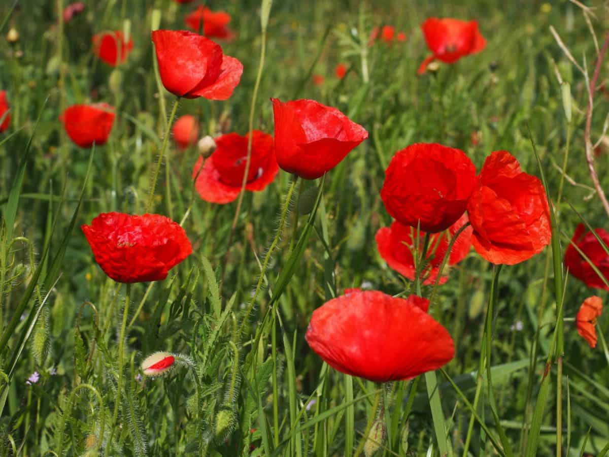 summer, garden, nature, flower, grass, field, flora, poppy