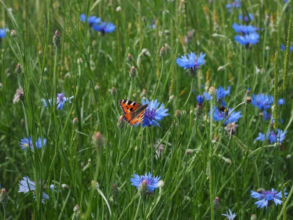 nature, field, wildflower, flora, garden, chicory, grass, summer, herb