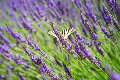 insect, lilac, flora, field, nature, flower, aromatherapy.