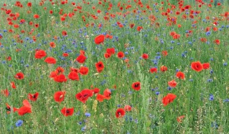 grass, field, poppy, flower, flora, nature, wildflower, summer