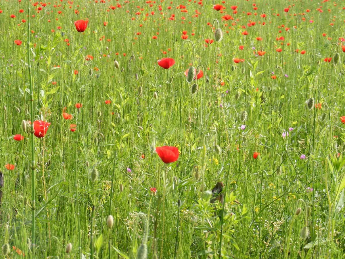flower, flora, nature, poppy, grass, summer, field, plant
