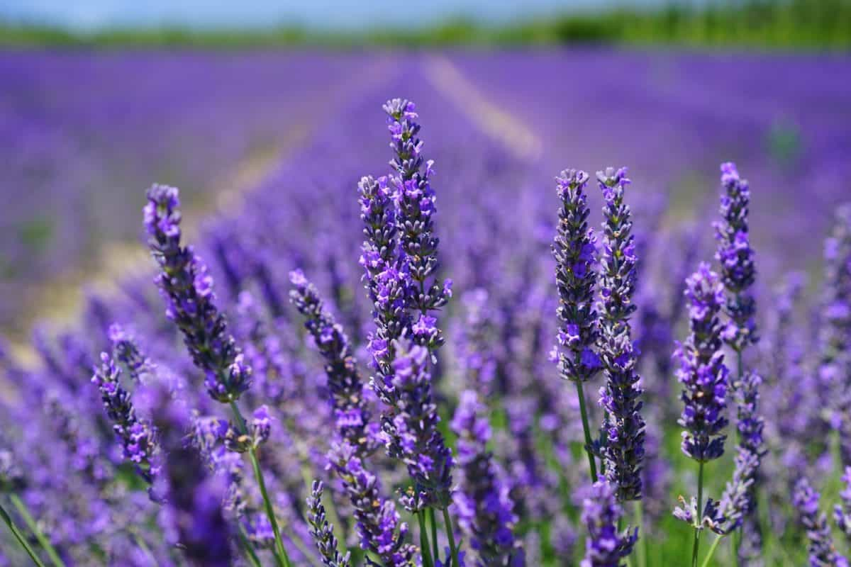 agriculture, summer, herb, flower, flora, field, nature, aromatherapy