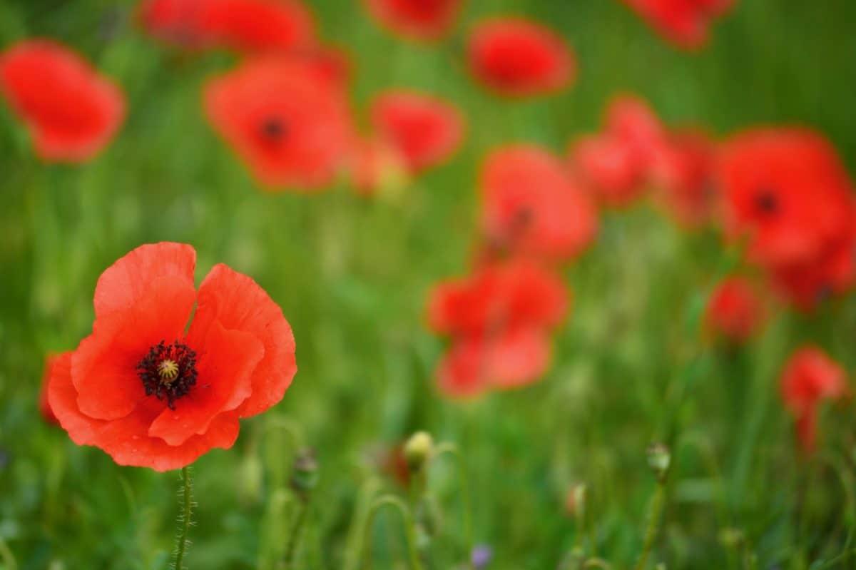 nature, garden, grass, field, flower, poppy, summer, flora
