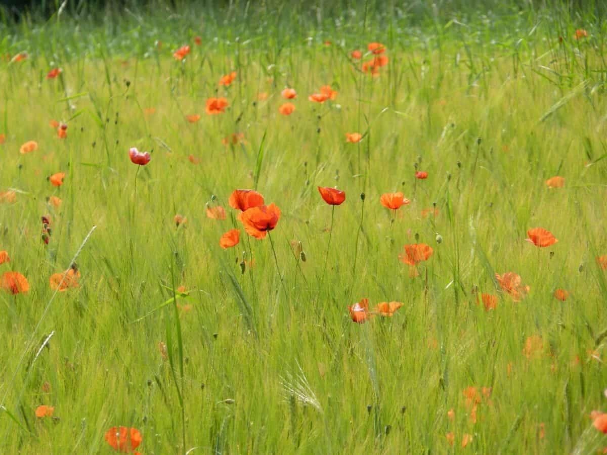 flower, poppy, field, grass, nature, summer, countryside