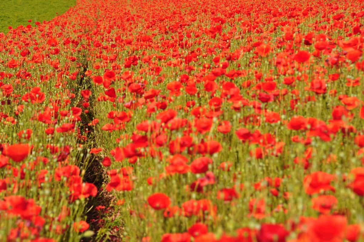 field, poppy, grass, flora, summer, nature, flower, garden