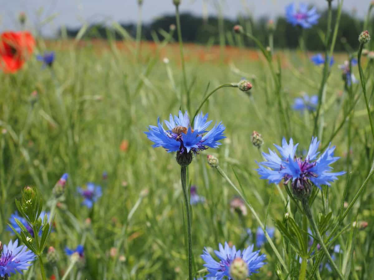 flower, grass, field, nature, summer, chicory, flora, garden, herb