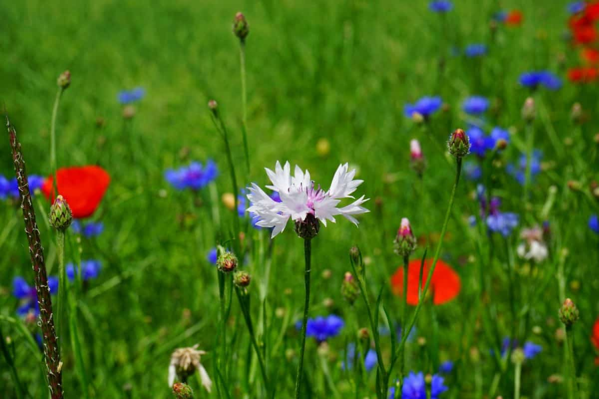 summer, grass, field, flower, nature, plant, chicory, herb, blossom