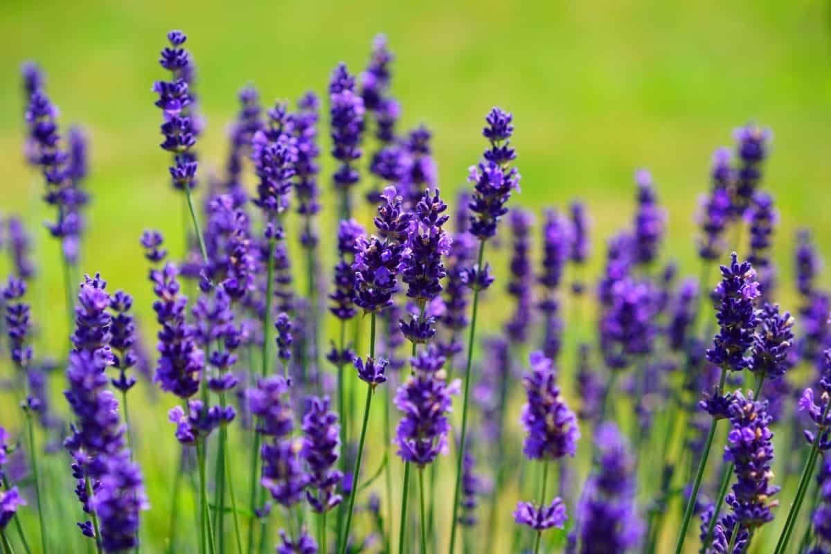 perfume, flower, field, nature, flora, lavender, plant, garden