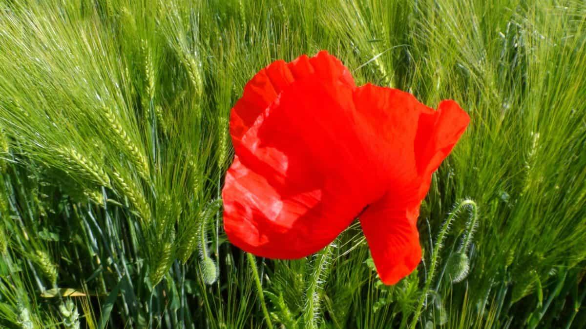 field, flower, nature, grass, flora, poppy, summer, garden