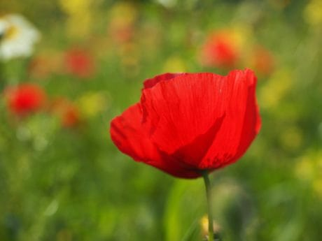 field, summer, wildflower, flora, leaf, nature, red, opium poppy, garden