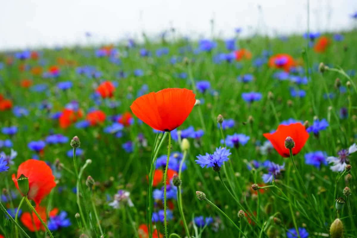 flora, opium poppy, nature, grass, flower, summer, field, herb