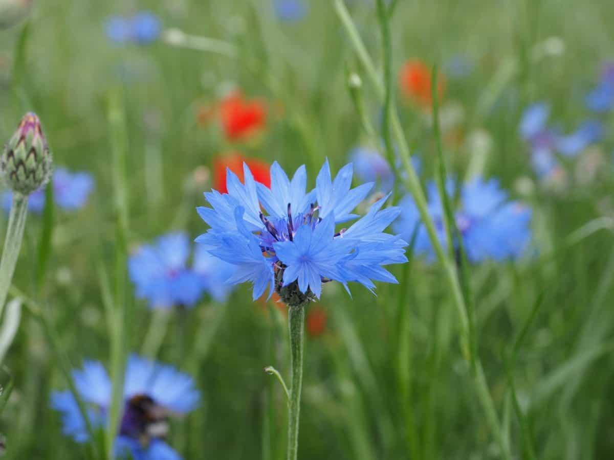 grass, chicory, flora, summer, nature, field, flower, garden, plant