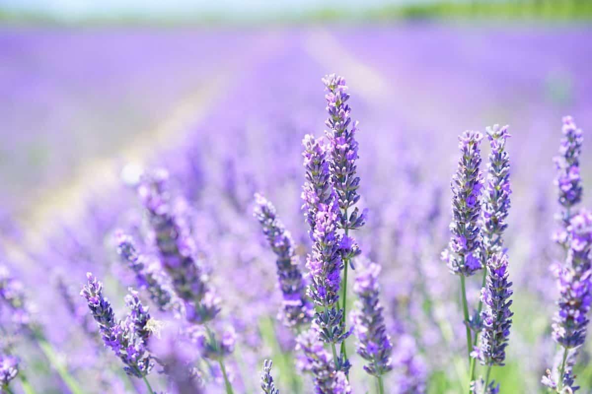 field, lilac, nature, summer, flower, flora, herb, lavender, detail, agriculture