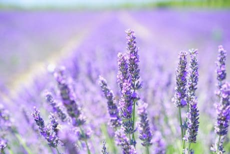 field, lilac, nature, summer, flower, flora, herb, lavender, detail, agriculture
