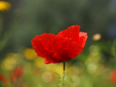 flower, summer, flora, poppy, leaf, nature, red, blossom, garden