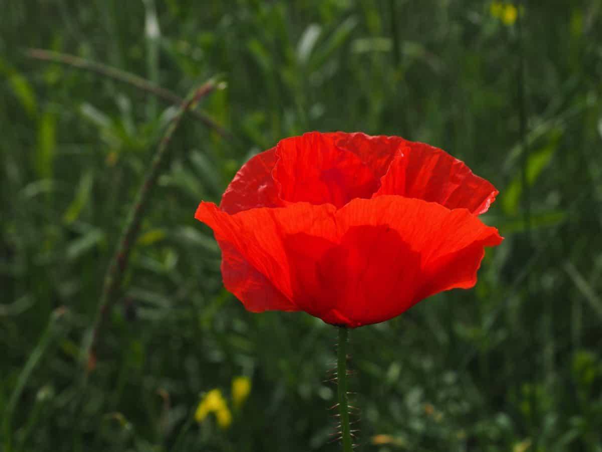 field, poppy, grass, summer, flora, flower, nature, garden
