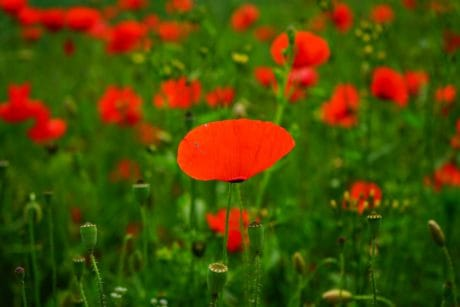 nature, flora, summer, garden, field, flower, poppy, grass