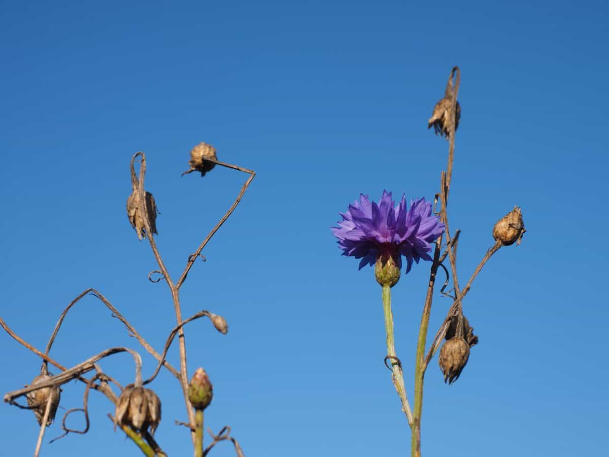 herb, plant, chicory, flower, blue sky
