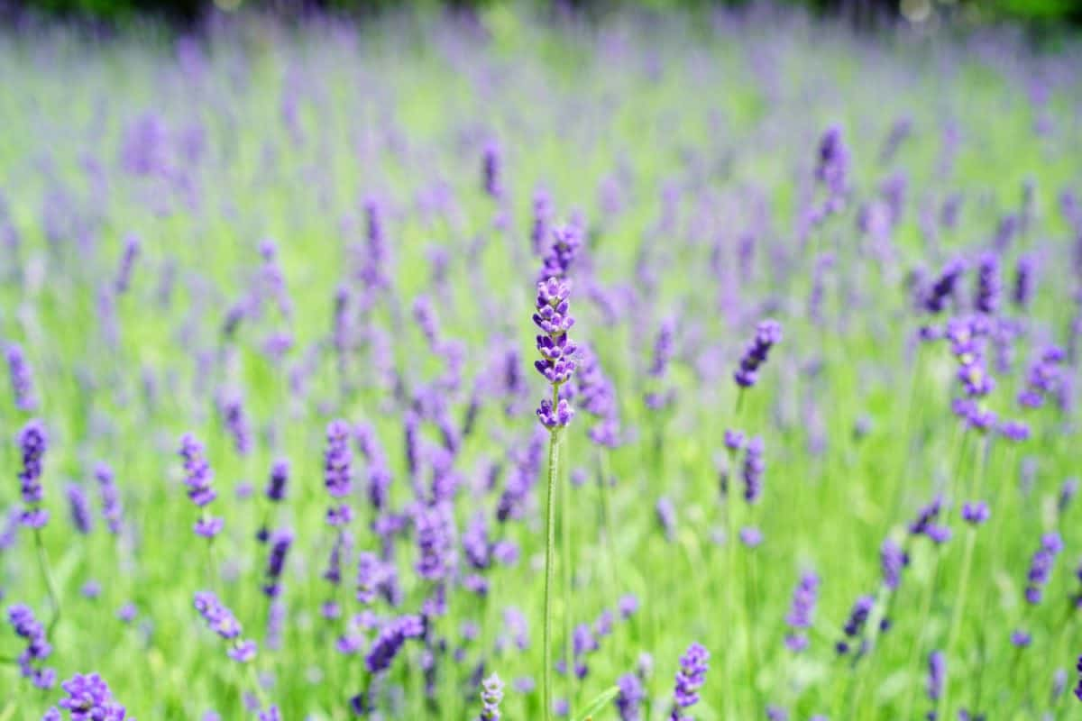 flora, lavender, agriculture, field, nature, summer, countryside, flower