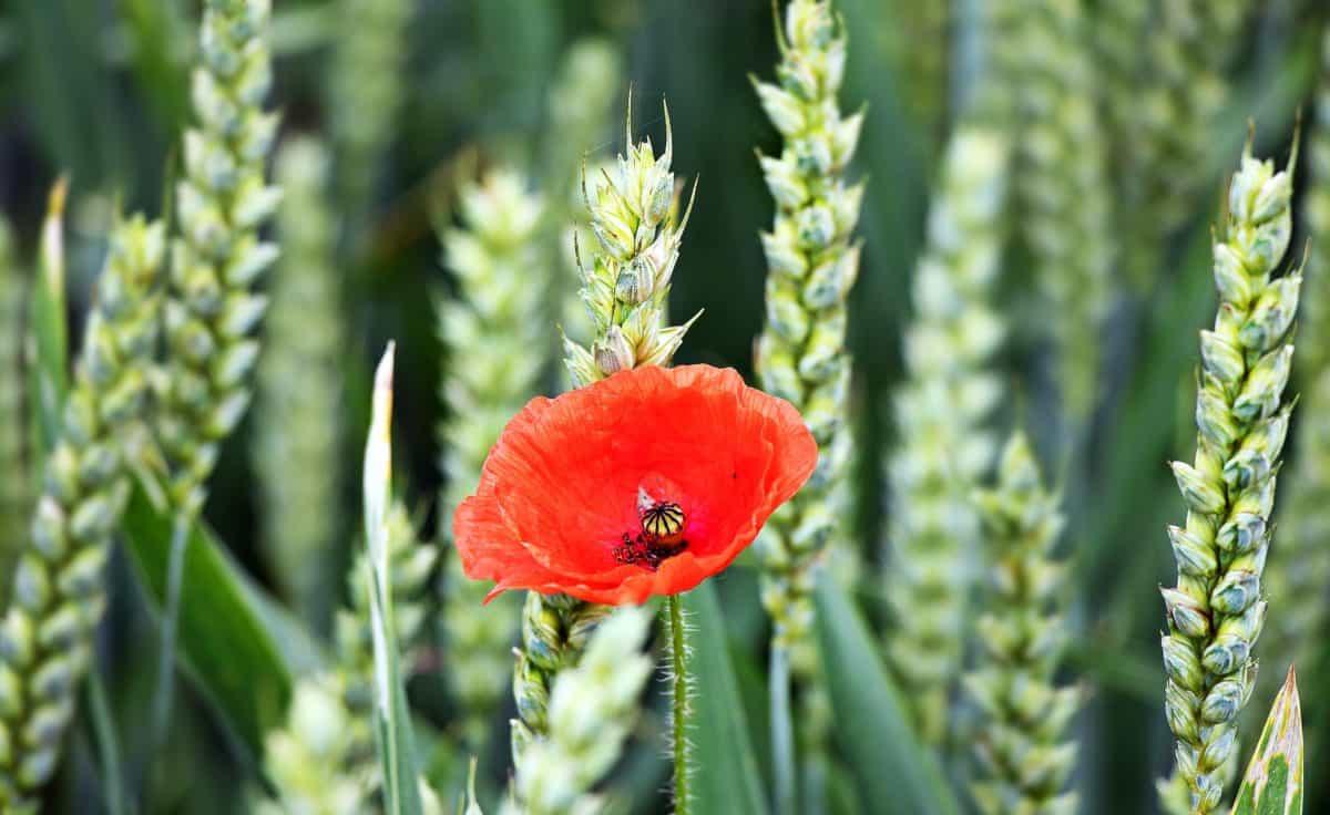 agriculture, summer, leaf, flora, spike, nature, poppy, flower