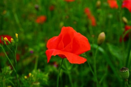 flora, flower, nature, garden, field, poppy, green grass, summer