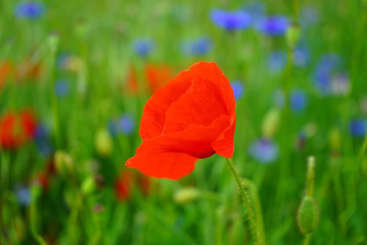 grass, field, nature, summer, poppy, flora, flower, garden