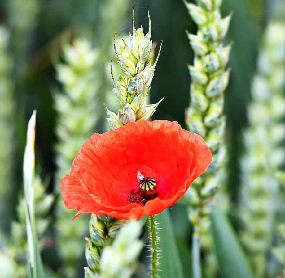 nature, wild, flora, summer, leaf, flower, poppy, plant, garden