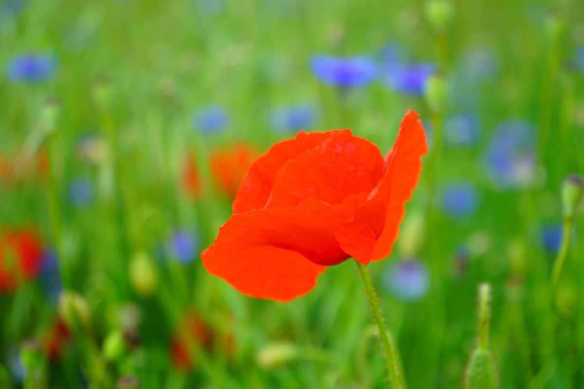 summer, grass, flower, garden, poppy, nature, field, flora