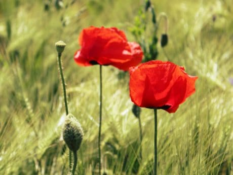 poppy, summer, grass, nature, field, flower, opium, flora
