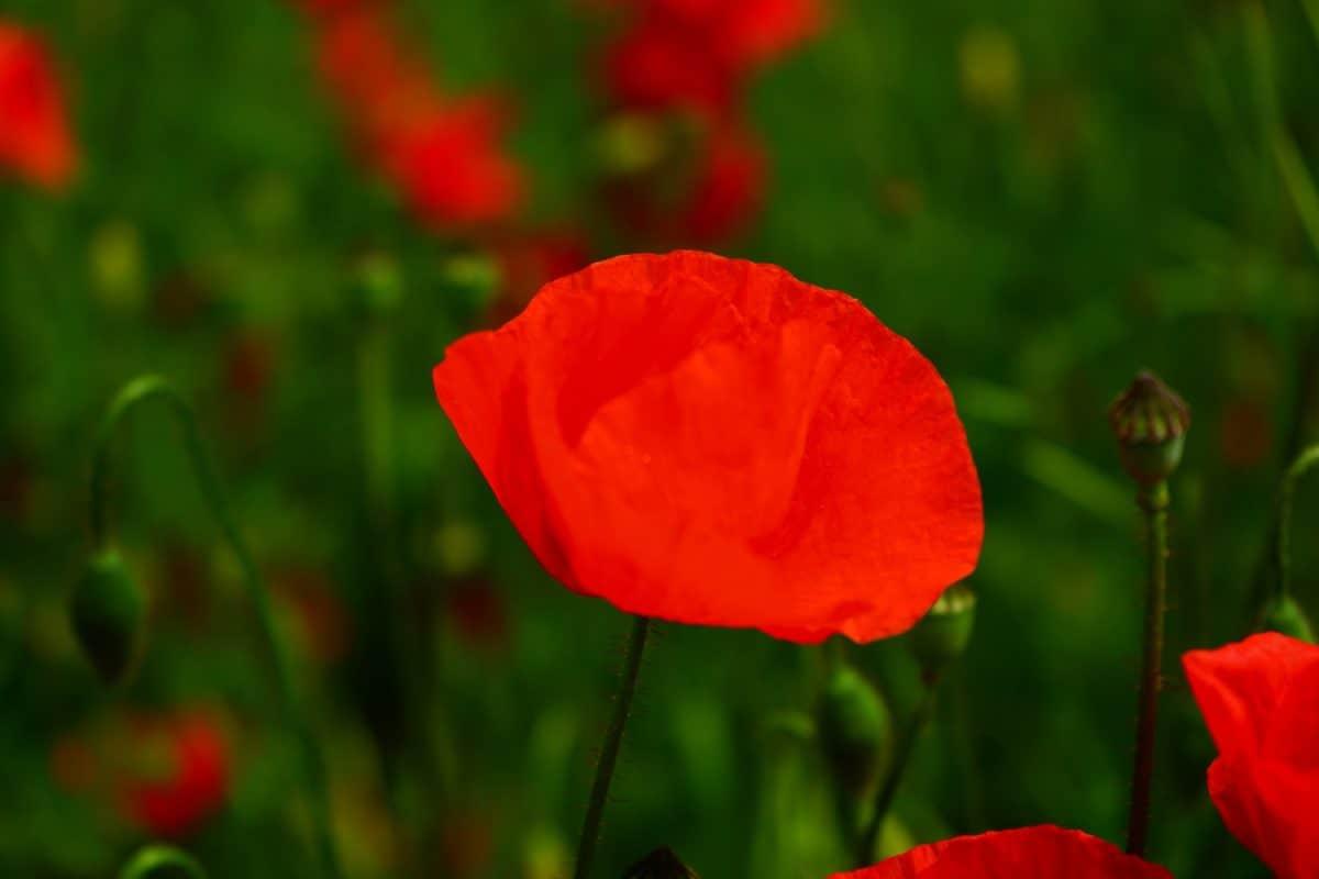 field, flora, garden, leaf, summer, nature, flower, poppy