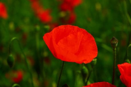 field, flora, garden, leaf, summer, nature, flower, poppy