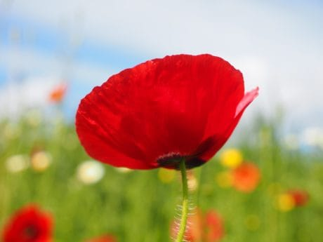 flora, summer, nature, field, poppy, flower, garden, blossom