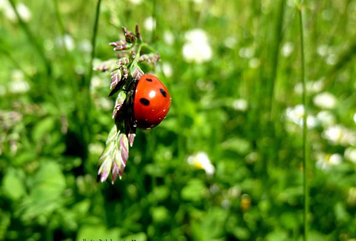 green grass, nature, beetle, insect, ladybug, arthropod, bug, garden